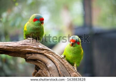 Wild swift parrots sitting on eucalyptus tree.  - stock photo