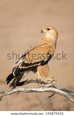 Wild Tawny Eagle bird perched on a low hanging branch in the Kalahari desert - stock photo