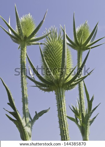 Wild teasel (botanical name: Dipsacus fullonum), also known as Fuller's teasel, often considered a noxious weed, growing in summer prairie, northern Illinois - stock photo