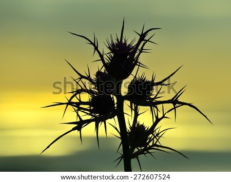 Wild thistle flowers in foreground at sunrise, color effects - stock photo