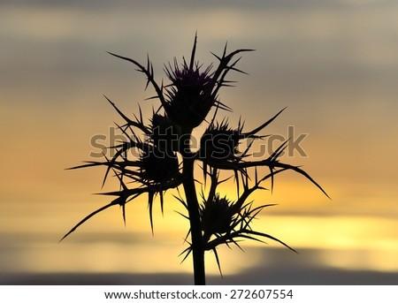 Wild thistle flowers in foreground on skyline background at dawn, color effects - stock photo