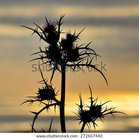Wild thistle in foreground on colored skyline at sunrise - stock photo