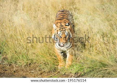 Wild tiger coming out of the bush - stock photo