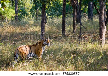 Wild tiger in the jungle india bandhavgarh national park madhya