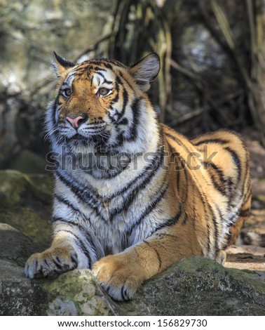 Wild tiger laying down on a ground