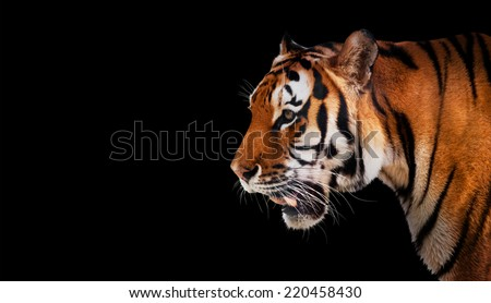 Wild tiger looking and ready to hunt, side profile view. Isolated on black background - stock photo