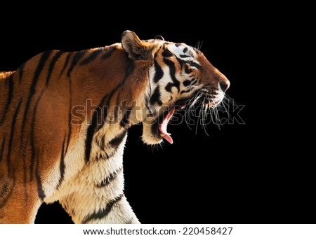 Tiger Roar Stock Images, Royalty-Free Images & Vectors ... - photo#39