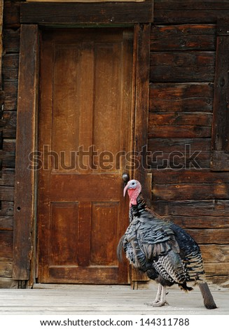 Wild Turkey Standing by Rustic Cabin Door - stock photo