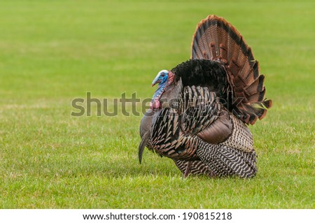 Wild turkey strutting for a mate in the spring mating season.