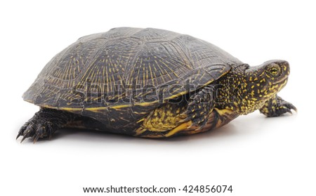 Wild turtle isolated on a white background. - stock photo