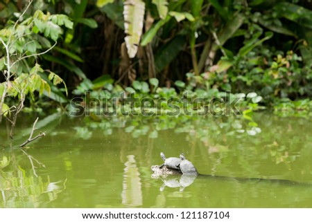 Wild turtles in Ecuadorian amazonia, at full size you could see a insect sitting on them. - stock photo