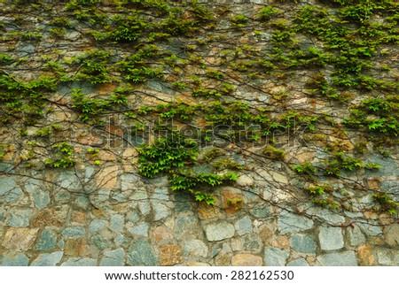 Wild vines snaking across the stone wall - stock photo