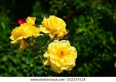 Wild vivid yellow flowers in the garden - stock photo