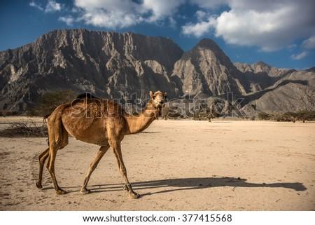 Wild walking Camel in mountains, Musandam peninsula, Oman, Arabia - stock photo
