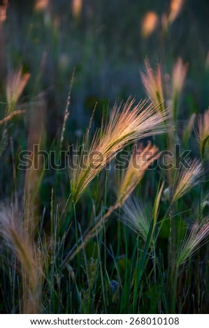 Wild wheat - stock photo