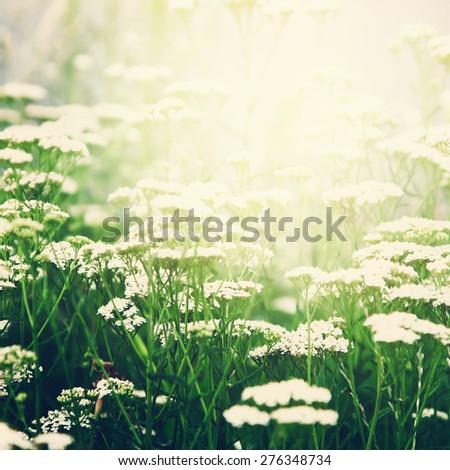 Wild white flowers in sunny day. Summer season. - stock photo