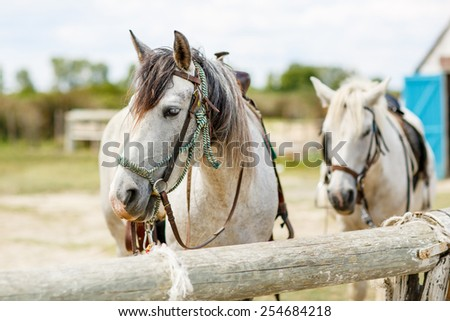 wild white horses of the Camargue, Provence, France - stock photo