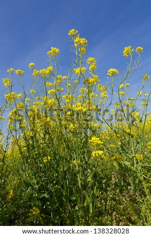 Wild white mustard plant blooming against a beautiful blue sky - stock photo