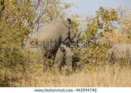 Wild white rhinoceros mating in the bush, in Kruger Park - stock photo