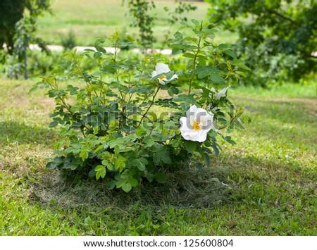 wild white rose in the garden - stock photo