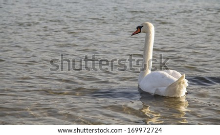 Wild white swan (or pen) in cold river  - stock photo