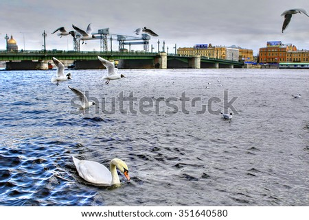 Wild white swan swims in the river city, St. Petersburg, Russia. - stock photo