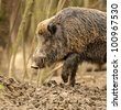 wild wild boar - stock photo