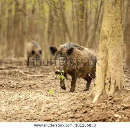 Wild wild Boar in-field - stock photo