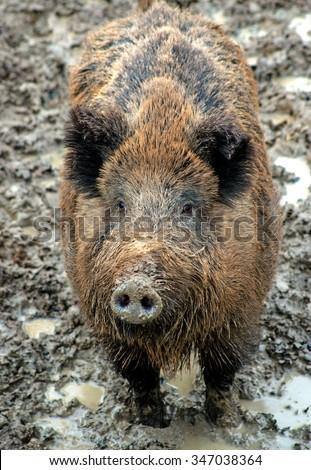 wild wild boar in wood on bad roads - stock photo