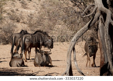 wild Wildebeest Gnu grazing, Kgalagadi, South Africa, wildlife