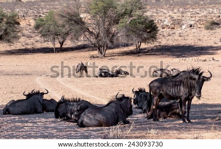 wild Wildebeest Gnu, Kgalagadi, South Africa, true wildlife - stock photo