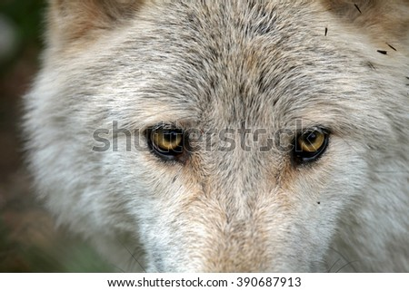 Wild wolf in the woods during autumn, with a close up of the eyes.