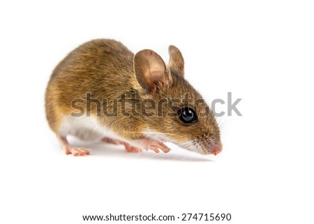 Wild wood mouse (Apodemus sylvaticus) with cute brown eyes looking in the camera on white background - stock photo
