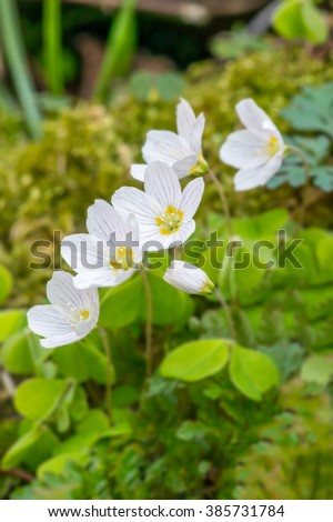 Wild wood sorrel (Oxalis acetosella) flowers in Springtime, in the Brecon Beacons National Park, Wales. April - stock photo