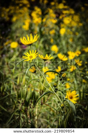 Wild yellow daisies at The Forks, Winnipeg, Manitoba, Canada - stock photo