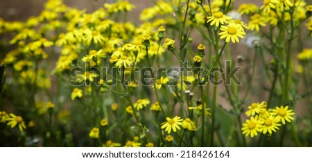 Wild yellow flowers outside on cloudy day during spring - stock photo