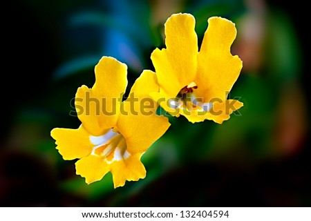 Wild Yellow Monkey Flowers (Mimulus brevipes), Santa Susana Mountains, California - stock photo