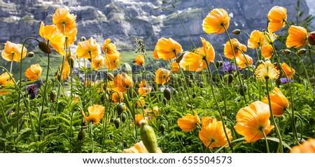 Wild yellow poppy flowers facing sunlight stock photo edit now wild yellow poppy flowers facing the sunlight in alpine valley poppy flowers prosper in warm mightylinksfo