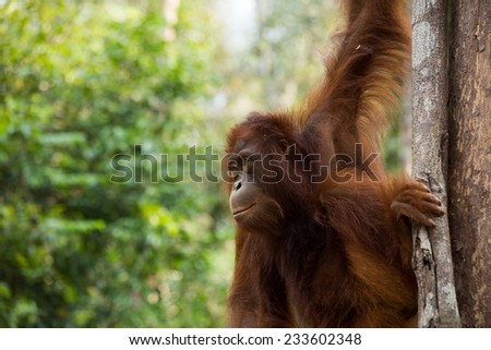 Wild young Orangutan hanging on the tree in the forest of Borneo Indonesia. - stock photo