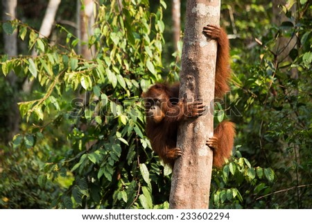 Wild young Orangutan holding on the tree in the forest of Borneo Indonesia. - stock photo