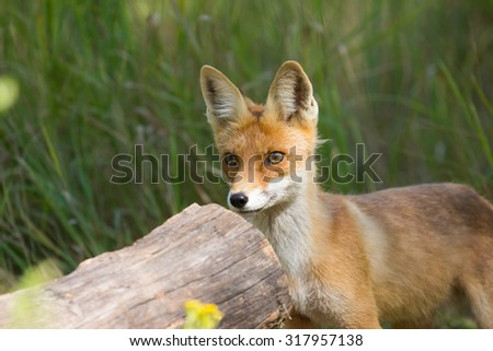 wild young red fox
