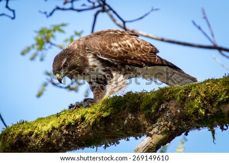 Wild young Red-tailed Hawk eating a rodent. - stock photo
