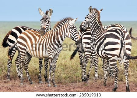 Wild Zebra gather in a group and watch for predators in all directions in the plains of the Serengeti, Tanzania, Africa.