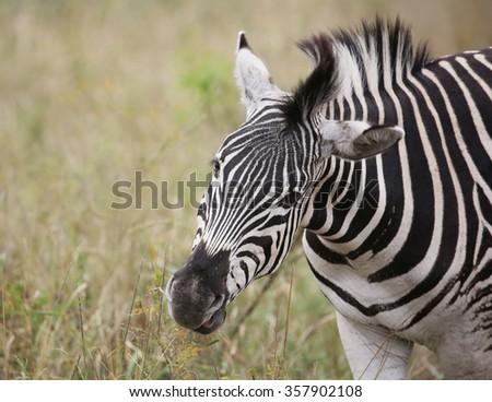 wild zebras in Kruger National Park, South Africa. - stock photo