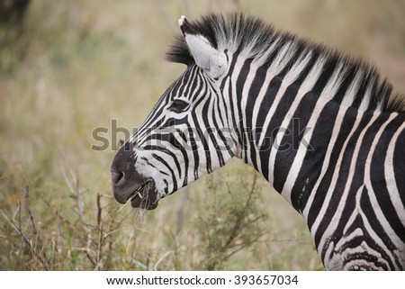 wild zebras in Kruger National Park, South Africa. - stock photo