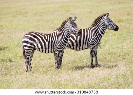 Wild zebras in Serengeti National Park in Tanzania in East Africa