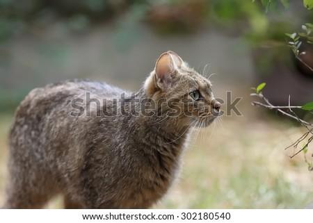 Wildcat close up - stock photo