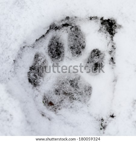 Wildcat (Felis silvestris) foot print on the snow - stock photo