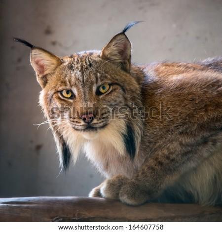 Wildcats - stock photo