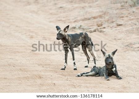 Wilddog in Tsavo East Kenya - stock photo